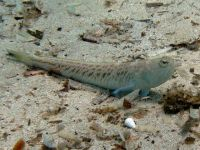 trachinus_draco_sardegna09_5609_r_pillon